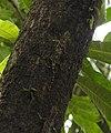 Southern Flying Lizard Draco dussumieri by Dr. Raju Kasambe DSCN2325 (5).jpg