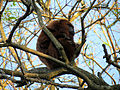 Southern brown howler monkey male sp zoo 4.jpg