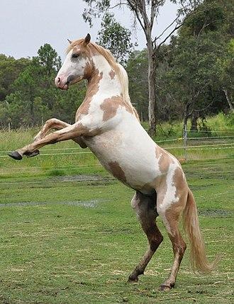 Spanish Mustang - Spanish Mustang