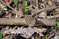 Speckled Wood Butterfly (7073912765).jpg