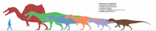 Scale drawing; Baryonyx was much bigger than a human, but mid-sized compared with other spinosaurids.