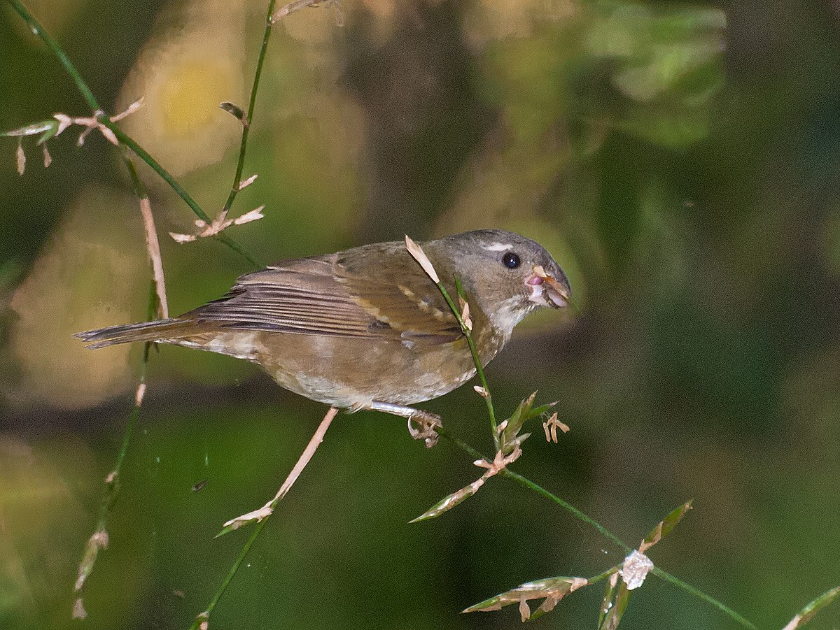 Buffy Fronted Seedeater Wikipedia