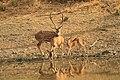 Spotted deer (4).jpg