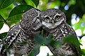 Spotted owlet couple, Hooghly, West Bengal, India.jpg
