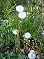 "Spring seed heads or ""clocks"" of coltsfoot - geograph.org.uk - 412455.jpg"
