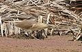 Squacco Heron, Ardeola ralloides at Marievale Nature Reserve, Gauteng, South Africa (15456688287).jpg