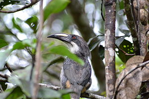 Hornbill - As its name suggests, the Sri Lanka grey hornbill is grey and endemic to Sri Lanka.