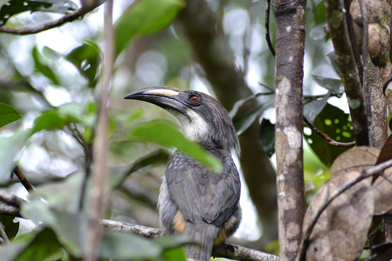 File:Sri Lanka Grey Hornbill.JPG