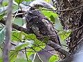 Sri Lankan Frogmouth Batrachostomus moniliger by Dr. Raju Kasambe DSCN0942 (30).jpg