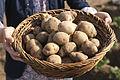 Stärkekartoffel Amflora 1.jpg