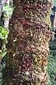 Stangeria eriopus 2zz.jpg