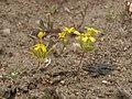 Starcup, Gymnosteris nudicaulis (yellow form) (15988918375).jpg