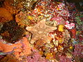 Starfish at Middle Bank P2277236.JPG