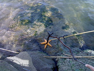Maribyrnong River - A starfish in the Maribyrnong River near the Flemington Racecourse.