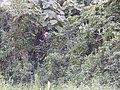 Starr-011205-0131-Thunbergia alata-smothering Macaranga mappa-Hilo-Hawaii (24176230299).jpg