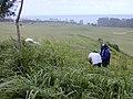 Starr-020620-0079-Coccinia grandis-infestation area with Mach and Kim-Kapalua-Maui (24523793686).jpg