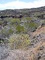 Starr-030716-0120-Senna gaudichaudii-habit with seed pods-Kanaio-Maui (24009323454).jpg
