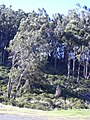 Starr-040214-0036-Eucalyptus sp-habit-Puu Nianiau-Maui (24672188026).jpg