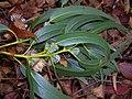 Starr-050125-3235-Eucalyptus globulus-leaves and capsules-Makawao Forest Reserve-Maui (24735100905).jpg