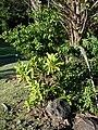 Starr-070111-3086-Pimenta dioica-sapling-Rainbow Park Baldwin Ave-Maui (24250166224).jpg