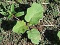 Starr-070215-4490-Solanum torvum-seedling with thorns on leaf-Old macadamia nut orchards Waiehu-Maui (24882359445).jpg