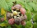 Starr-070621-7487-Rubus niveus-form a fruit and leaves-Upper Kimo Dr Kula-Maui (24863621446).jpg