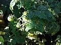 Starr-080103-1266-Solanum lycopersicum-fruiting habit-Lowes Garden Center Kahului-Maui (24783990182).jpg