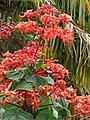 Starr-090417-6114-Clerodendrum buchananii var fallax-flowers-Haliimaile-Maui (24584522719).jpg