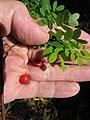 Starr-090623-1497-Adenanthera pavonina-seedling and seeds in hand-Nahiku-Maui (24873356781).jpg