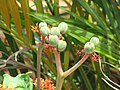 Starr-090806-3866-Jatropha podagrica-fruit-Wailuku-Maui (24945122976).jpg