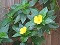Starr-091021-8464-Turnera ulmifolia-flowers and leaves-Wells Park Wailuku-Maui (24893355821).jpg