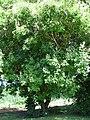 Starr-091104-0881-Vitex parviflora-flowering and fruiting habit-Kahanu Gardens NTBG Kaeleku Hana-Maui (24987770975).jpg