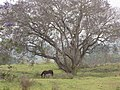 Starr-100504-5914-Jacaranda mimosifolia-large flowering tree with horse-Kula-Maui (24741951870).jpg