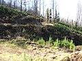 Starr-101201-9613-Sequoia sempervirens-habit post fire-Polipoli-Maui (24430479213).jpg