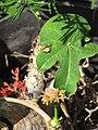 Starr-110215-1296-Jatropha podagrica-flowers and leaves-KiHana Nursery Kihei-Maui (24708382379).jpg
