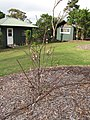 Starr-110222-1651-Prunus persica var persica-Florida Prince flowering habit-Olinda-Maui (25050326036).jpg