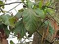 Starr-110307-2692-Persea americana-habit-Kula Botanical Garden-Maui (24960402872).jpg