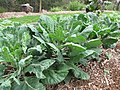Starr-120415-4662-Brassica oleracea-habit in veggie garden-Hawea Pl Olinda-Maui (25139458625).jpg