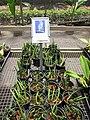 Starr-120522-6533-Dendrobium wassellii-habit in pots-Iao Tropical Gardens of Maui-Maui (24517027683).jpg