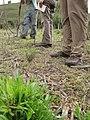 Starr-120608-7311-Cenchrus purpureus-outplanted and grazed-Ulupalakua Ranch-Maui (25145305045).jpg