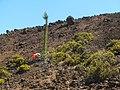 Starr-121017-0967-Pinus radiata-tall sapling with Forest sawing down-Puu o Maui HNP-Maui (24563430234).jpg