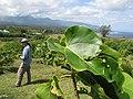 Starr-130321-3704-Thespesia populnea-outplanting leaves with Kim-Crater Hill Kilauea Pt NWR-Kauai (25209571985).jpg