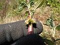 Starr-130617-4916-Amaranthus spinosus-flowers-Kealia Pond NWR-Maui (24844457369).jpg