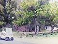 Starr-150327-0194-Calophyllum inophyllum-old FWS photo with Kim and golf cart-Marine Barracks Sand Island-Midway Atoll (25267671235).jpg