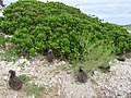 Starr-150403-1410-Brassica juncea-habit with Laysan Albatrosses-Southeast Eastern Island-Midway Atoll (24909959809).jpg