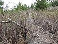 Starr-170225-7033-Rubus niveus-thicket and downed tree trail reroute-Lower Waiohuli Trail Polipoli-Maui (33254044791).jpg