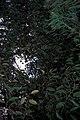 Starr-980529-4367-Chrysophyllum cainito-habit-Enchanting Floral Gardens of Kula-Maui (24146375369).jpg