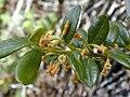 Starr 030222-0001 Alyxia oliviformis.jpg