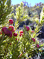 Starr 040214-0135 Leptecophylla tameiameiae.jpg