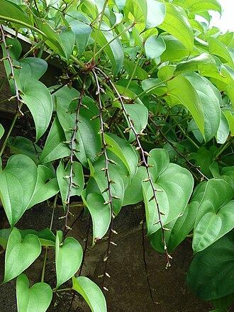 Dioscorea alata - Purple yam at Maui, Hawaii